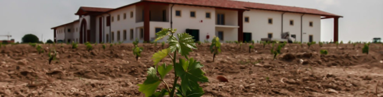 Vine cuttings grow in mineral-rich clay soils from the ice age.  photo by Le Morette: https://www.luganalemorette.it/the-farm/?lang=en