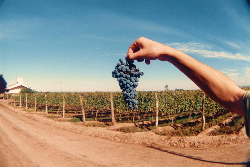 malbec-grapes-in-mendoza-argentina-paumaniglia