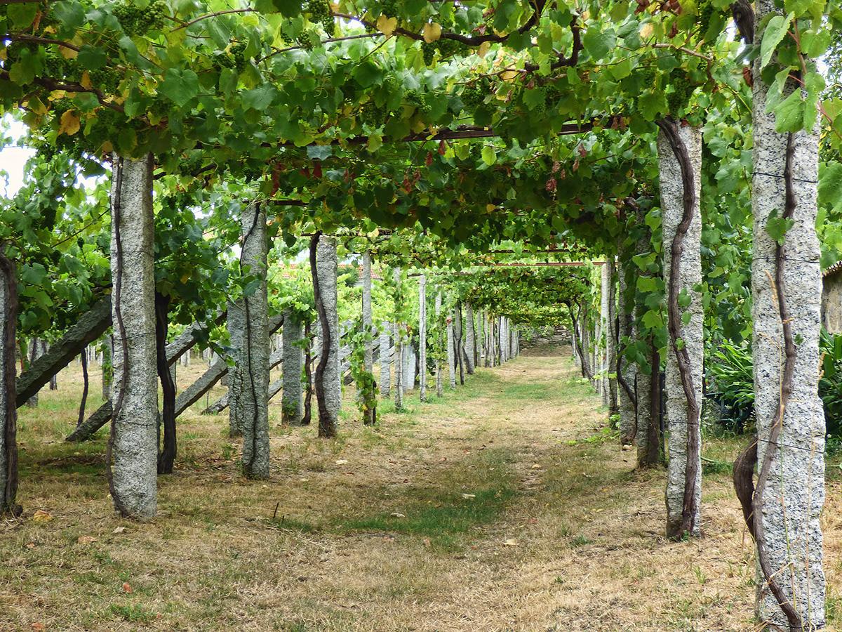 Parras-Albarino-Vine-Training-Val-do-Salnes-juantiagues