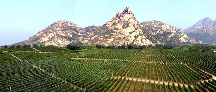 Pheonix-Hill-Vineyard-Changli-Hebei