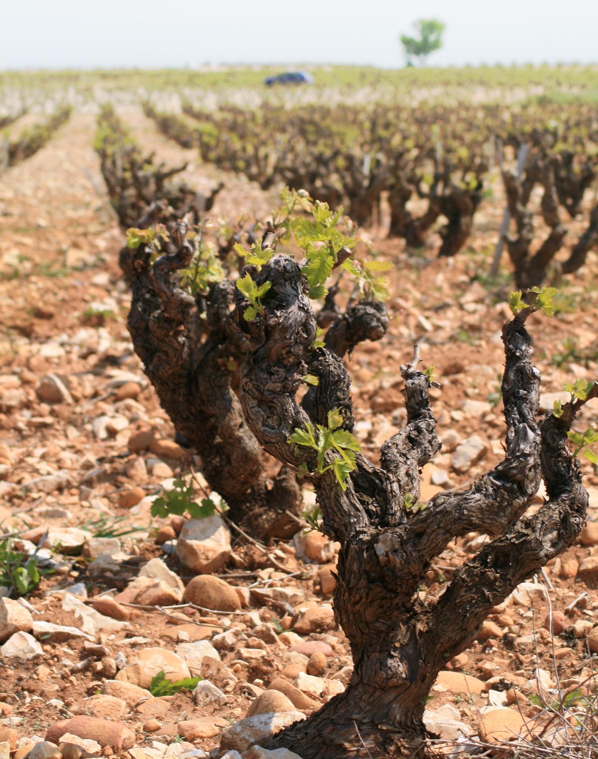 jean-louis_zimmerman-chateauneuf-du-pape-vineyards-2009
