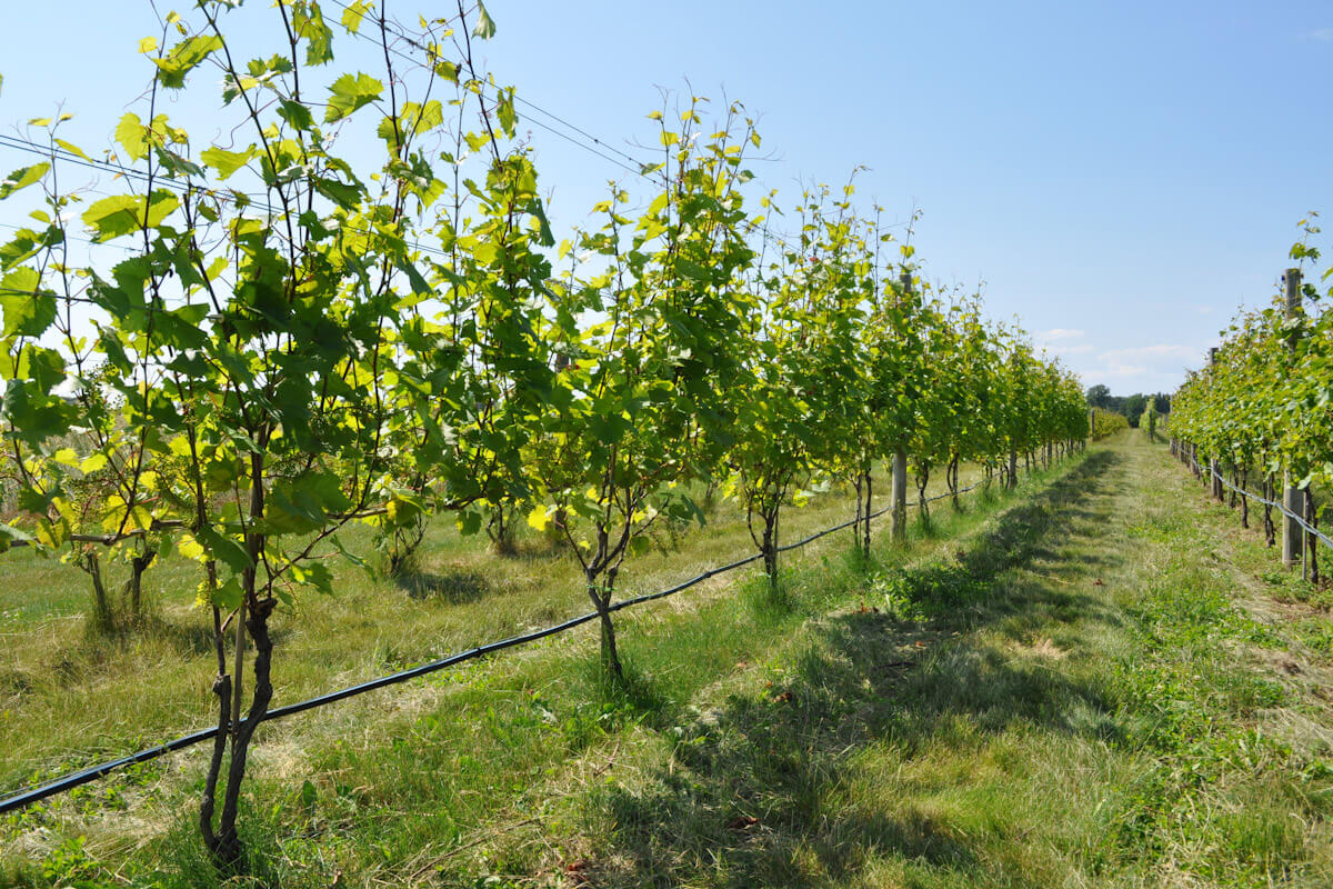 Grapevines in Long Island, New York.