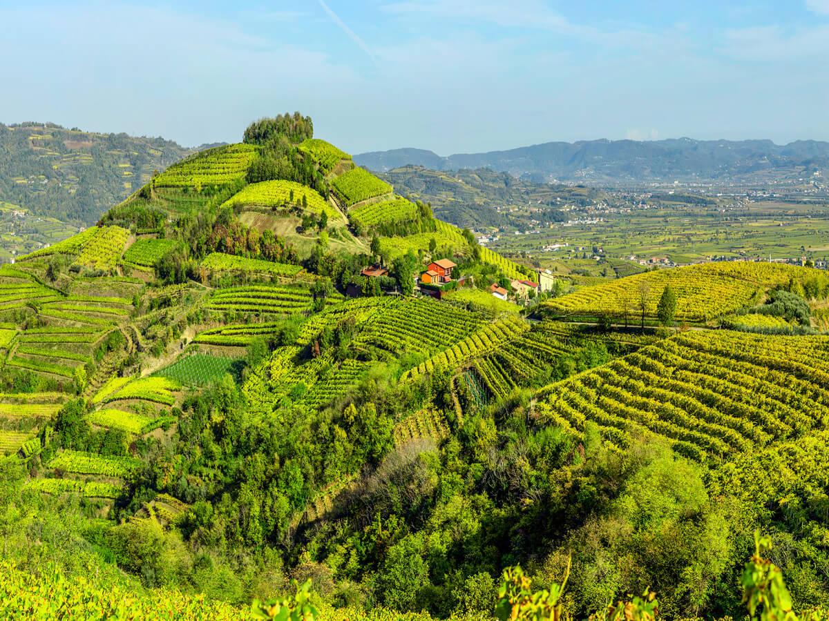 soave-hills-vineyards-vines