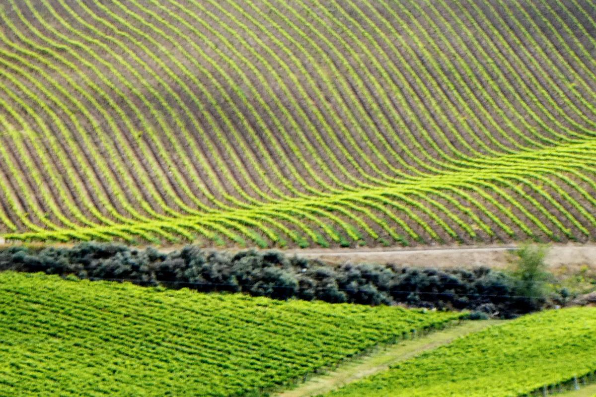 The vineyards of the Yakima region in Washington.
